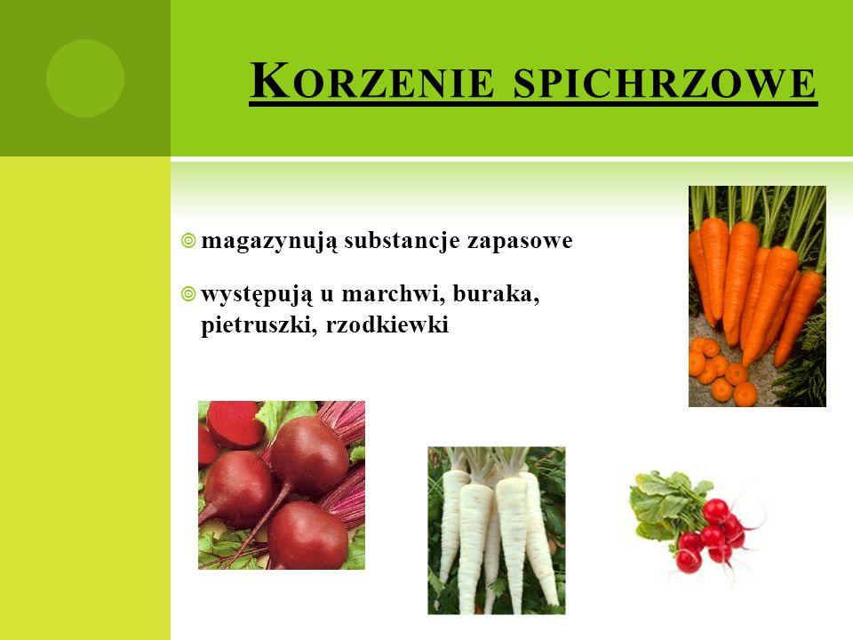 K ORZENIE SPICHRZOWE  magazynują substancje zapasowe  występują u marchwi, buraka, pietruszki, rzodkiewki
