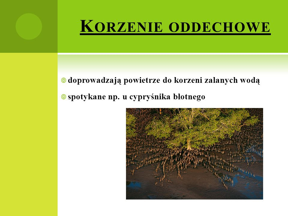 K ORZENIE ODDECHOWE  doprowadzają powietrze do korzeni zalanych wodą  spotykane np. u cypryśnika błotnego