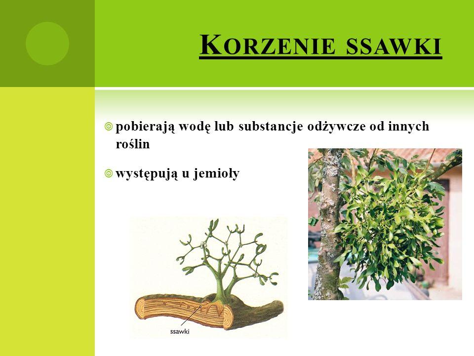 K ORZENIE SSAWKI  pobierają wodę lub substancje odżywcze od innych roślin  występują u jemioły
