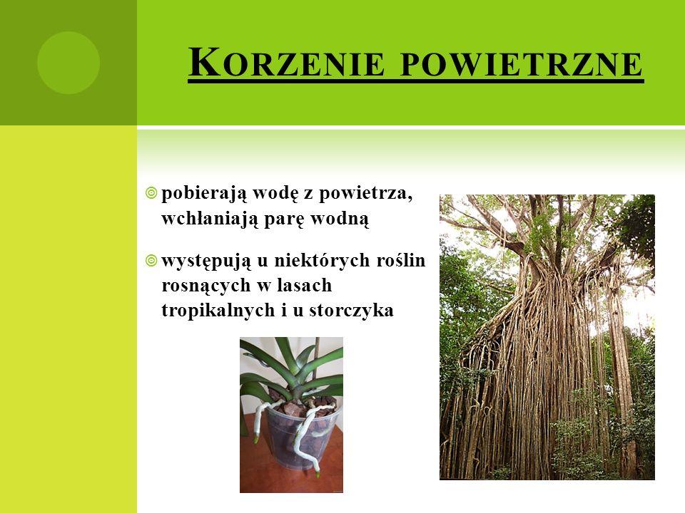 K ORZENIE POWIETRZNE  pobierają wodę z powietrza, wchłaniają parę wodną  występują u niektórych roślin rosnących w lasach tropikalnych i u storczyka