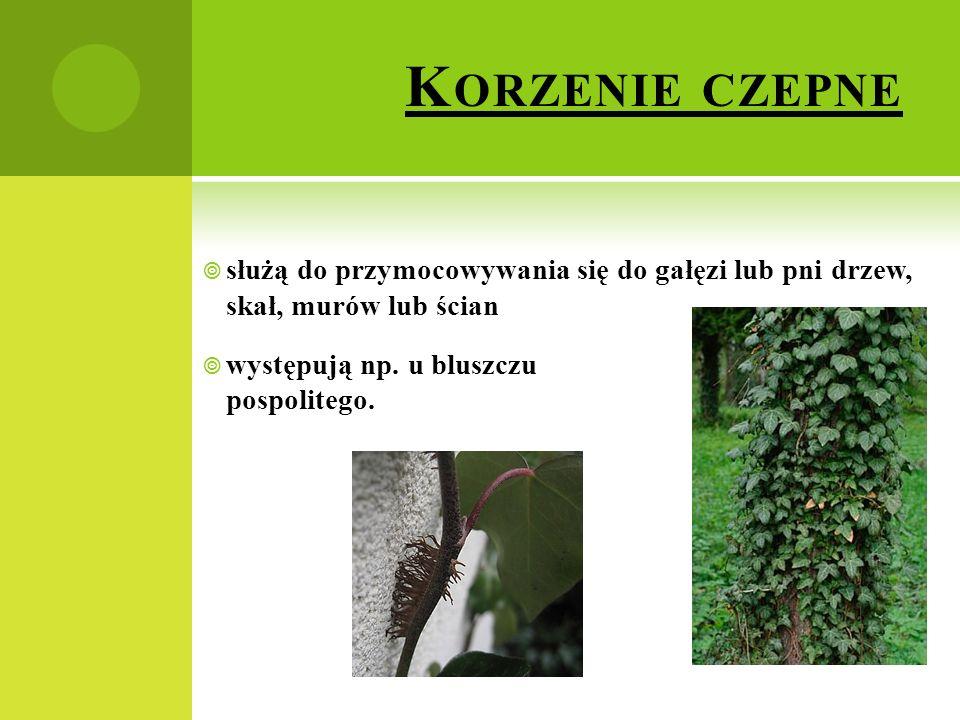 K ORZENIE CZEPNE  służą do przymocowywania się do gałęzi lub pni drzew, skał, murów lub ścian  występują np. u bluszczu pospolitego.