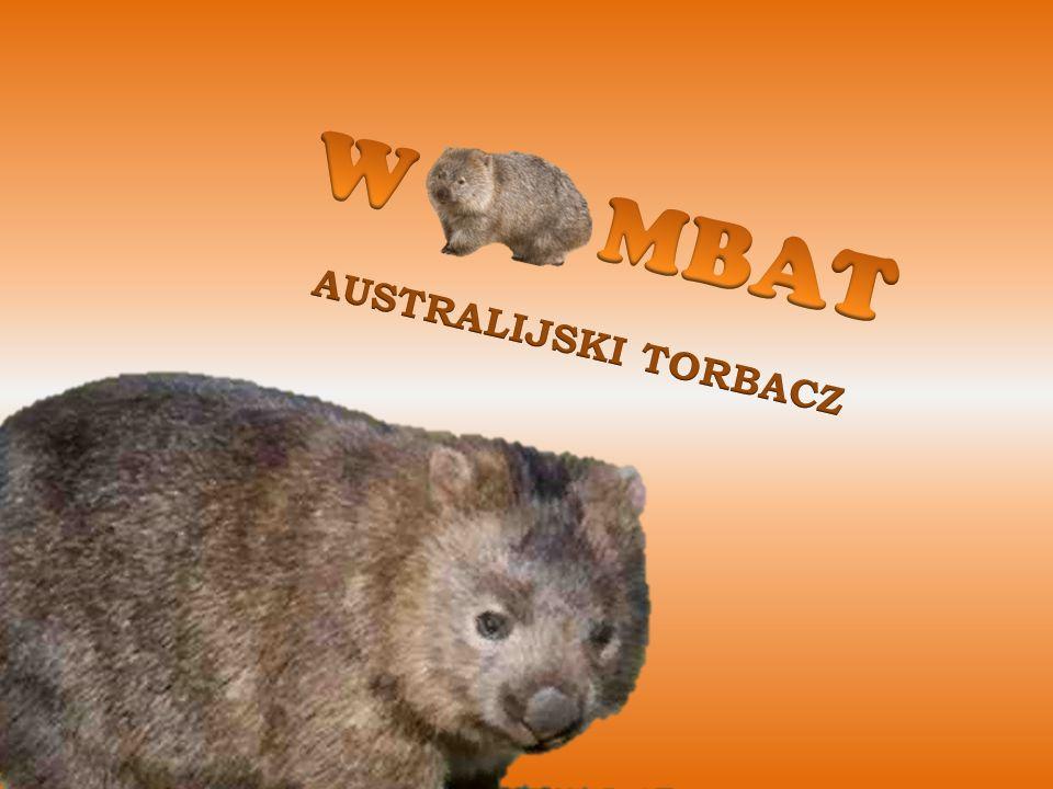 Wombat to obok diabła tasmańskiego i kangura kolejny przedstawiciel torbaczy, będący ssakiem.