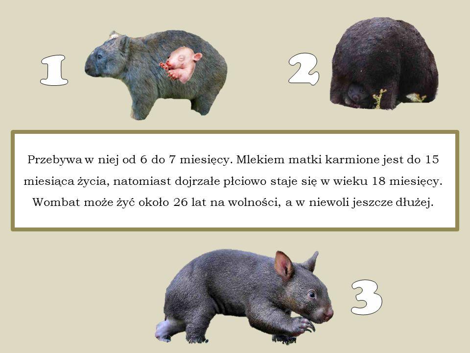 Przebywa w niej od 6 do 7 miesięcy. Mlekiem matki karmione jest do 15 miesiąca życia, natomiast dojrzałe płciowo staje się w wieku 18 miesięcy. Wombat
