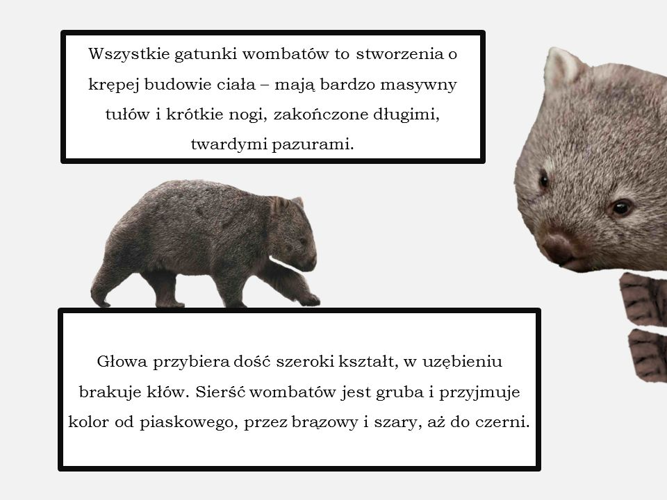 Wszystkie gatunki wombatów to stworzenia o krępej budowie ciała – mają bardzo masywny tułów i krótkie nogi, zakończone długimi, twardymi pazurami. Gło