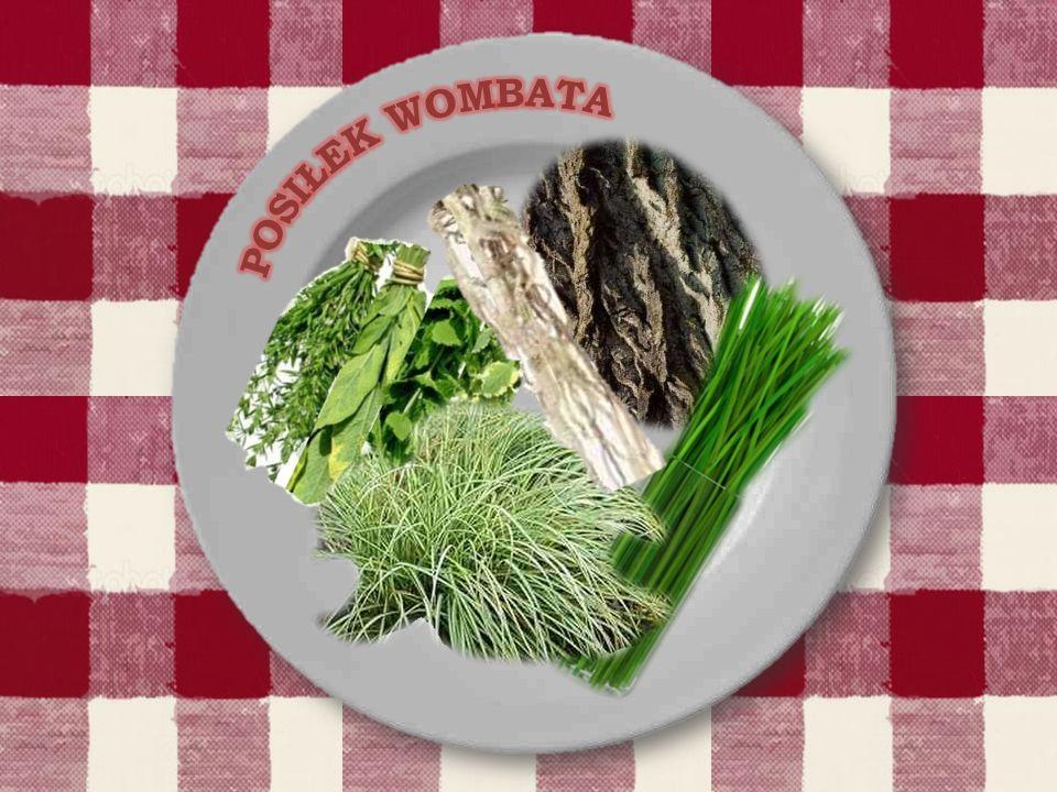 Wombaty mają wyjątkowo powolny metabolizm, proces trawienia pokarmu zabiera im od ośmiu do czternastu dni.