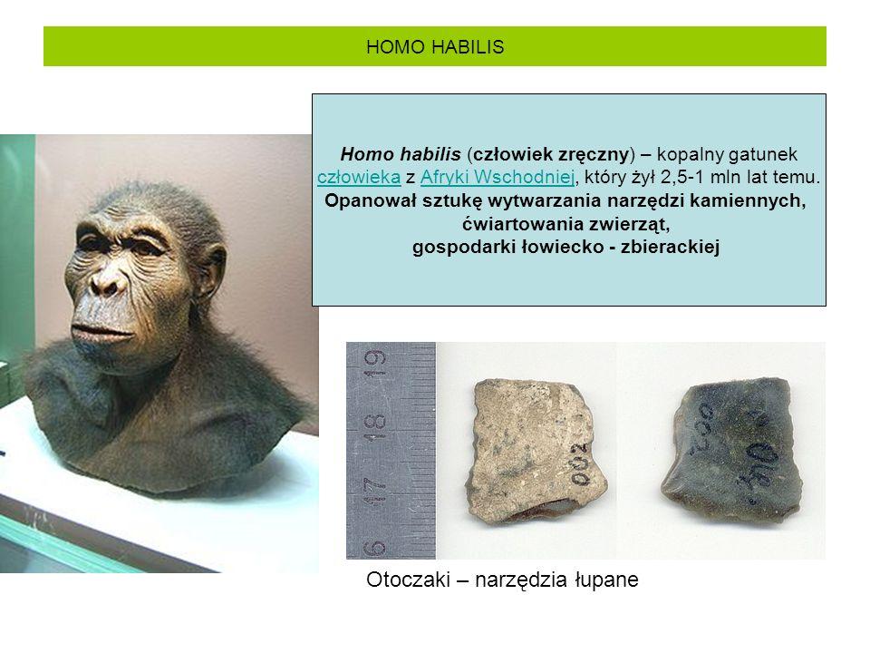 HOMO HABILIS Homo habilis (człowiek zręczny) – kopalny gatunek człowieka z Afryki Wschodniej, który żył 2,5-1 mln lat temu.człowiekaAfryki Wschodniej Opanował sztukę wytwarzania narzędzi kamiennych, ćwiartowania zwierząt, gospodarki łowiecko - zbierackiej Otoczaki – narzędzia łupane