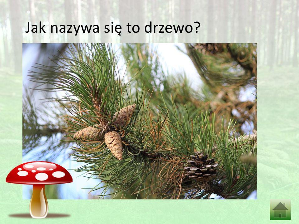 Jak nazywa się to drzewo?