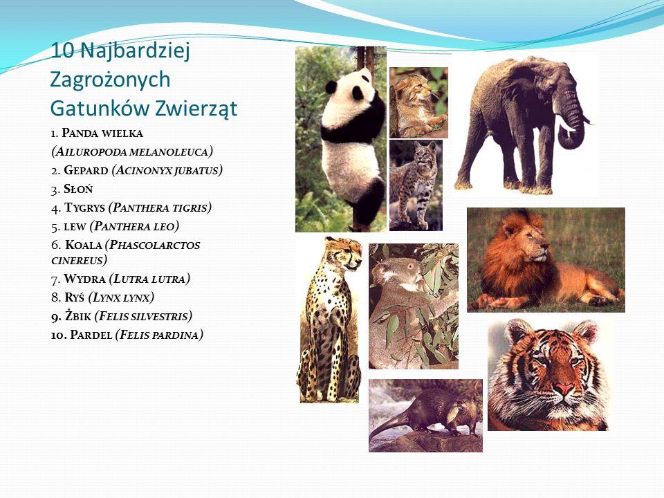 10 Najbardziej Zagrożonych Gatunków Zwierząt 1. P ANDA WIELKA (A ILUROPODA MELANOLEUCA ) 2. G EPARD (A CINONYX JUBATUS ) 3. S ŁOŃ 4. T YGRYS (P ANTHER