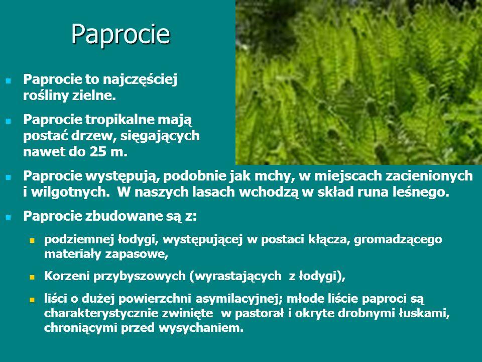 Paprocie Paprocie to najczęściej rośliny zielne. Paprocie tropikalne mają postać drzew, sięgających nawet do 25 m. Paprocie występują, podobnie jak mc