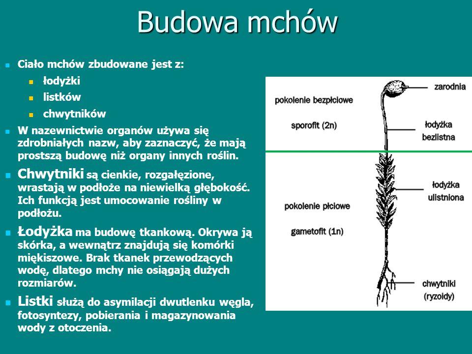 Budowa mchów Ciało mchów zbudowane jest z: łodyżki listków chwytników W nazewnictwie organów używa się zdrobniałych nazw, aby zaznaczyć, że mają prost