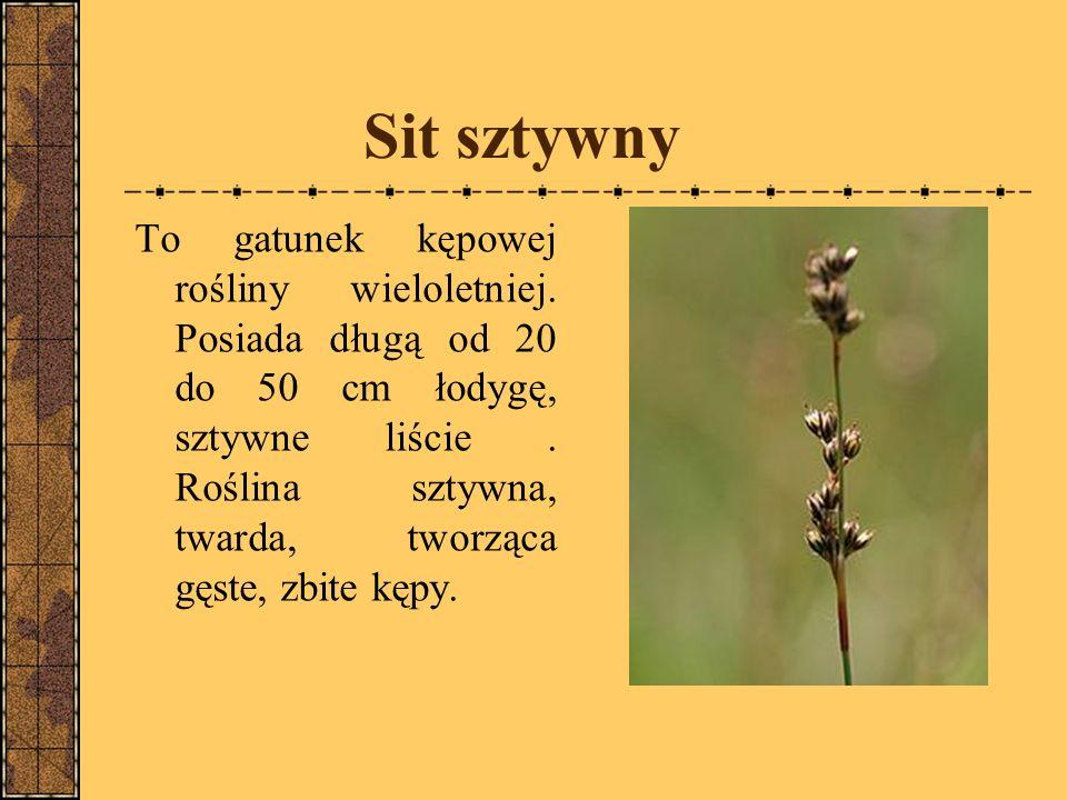 Sit sztywny To gatunek kępowej rośliny wieloletniej.