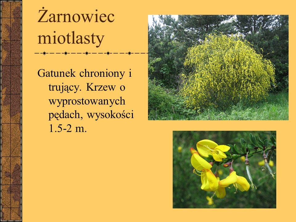 Żarnowiec miotlasty Gatunek chroniony i trujący. Krzew o wyprostowanych pędach, wysokości 1.5-2 m.