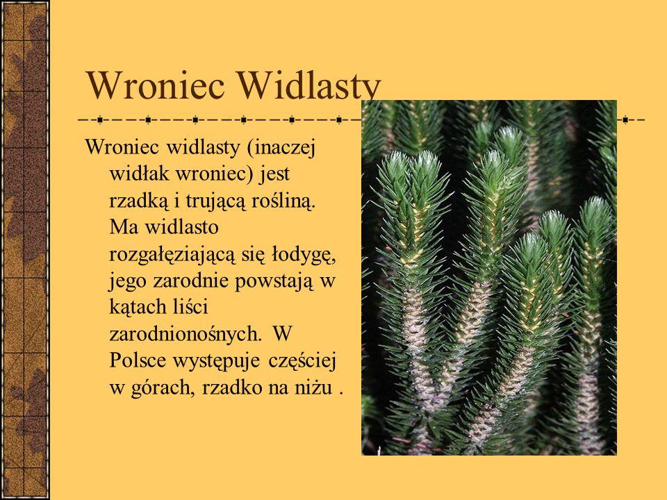 Wroniec Widlasty Wroniec widlasty (inaczej widłak wroniec) jest rzadką i trującą rośliną.