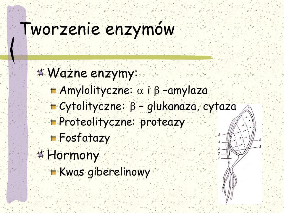 Tworzenie enzymów Ważne enzymy: Amylolityczne:  i  –amylaza Cytolityczne:  – glukanaza, cytaza Proteolityczne: proteazy Fosfatazy Hormony Kwas giberelinowy