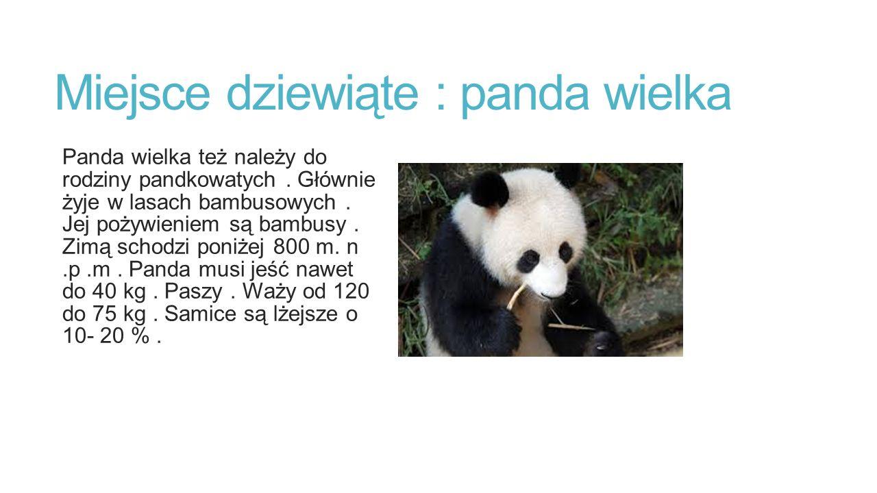 Miejsce dziewiąte : panda wielka Panda wielka też należy do rodziny pandkowatych. Głównie żyje w lasach bambusowych. Jej pożywieniem są bambusy. Zimą