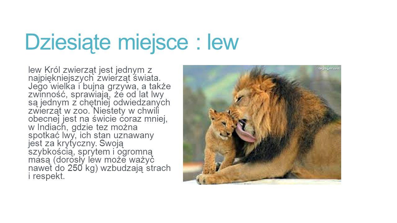 Dziesiąte miejsce : lew lew Król zwierząt jest jednym z najpiękniejszych zwierząt świata.