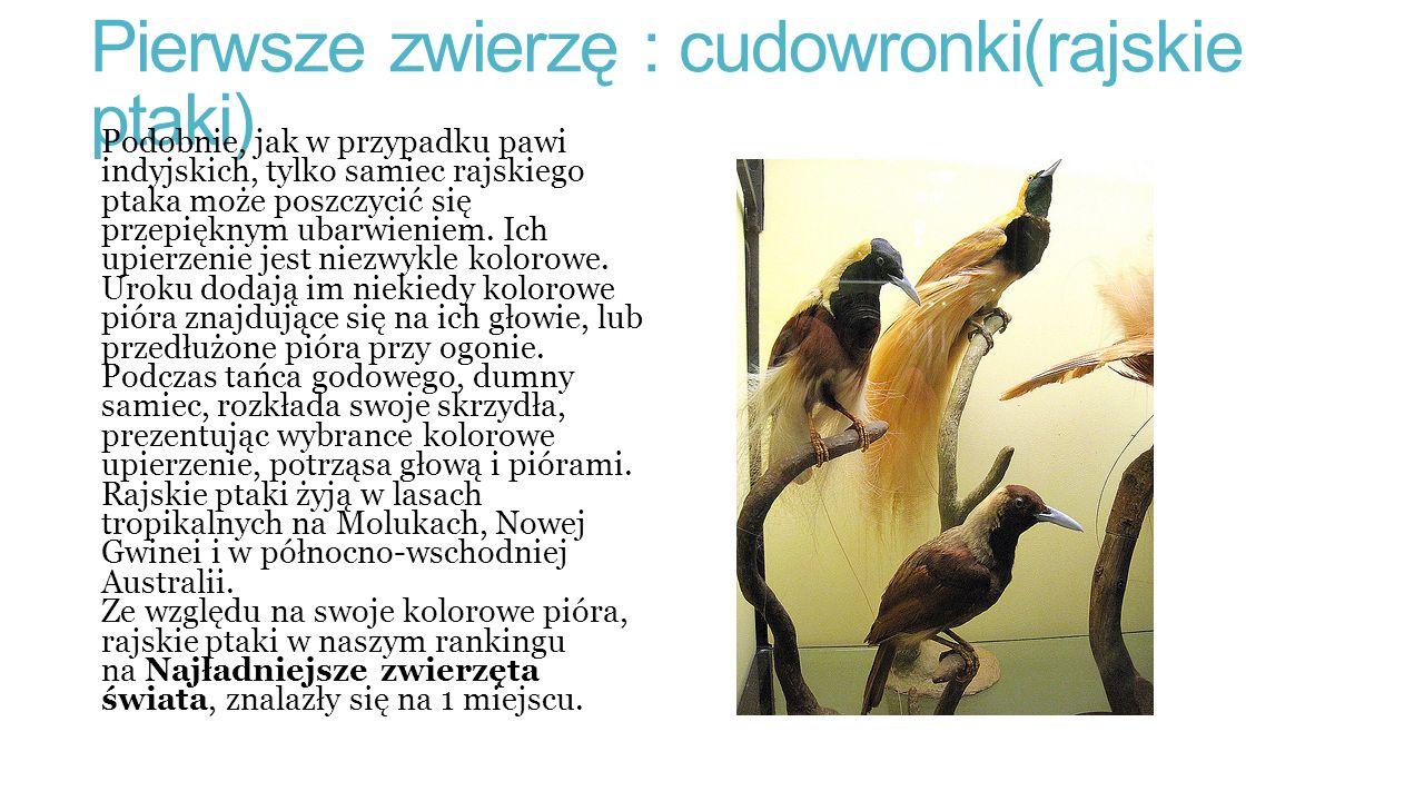 Pierwsze zwierzę : cudowronki(rajskie ptaki) Podobnie, jak w przypadku pawi indyjskich, tylko samiec rajskiego ptaka może poszczycić się przepięknym ubarwieniem.