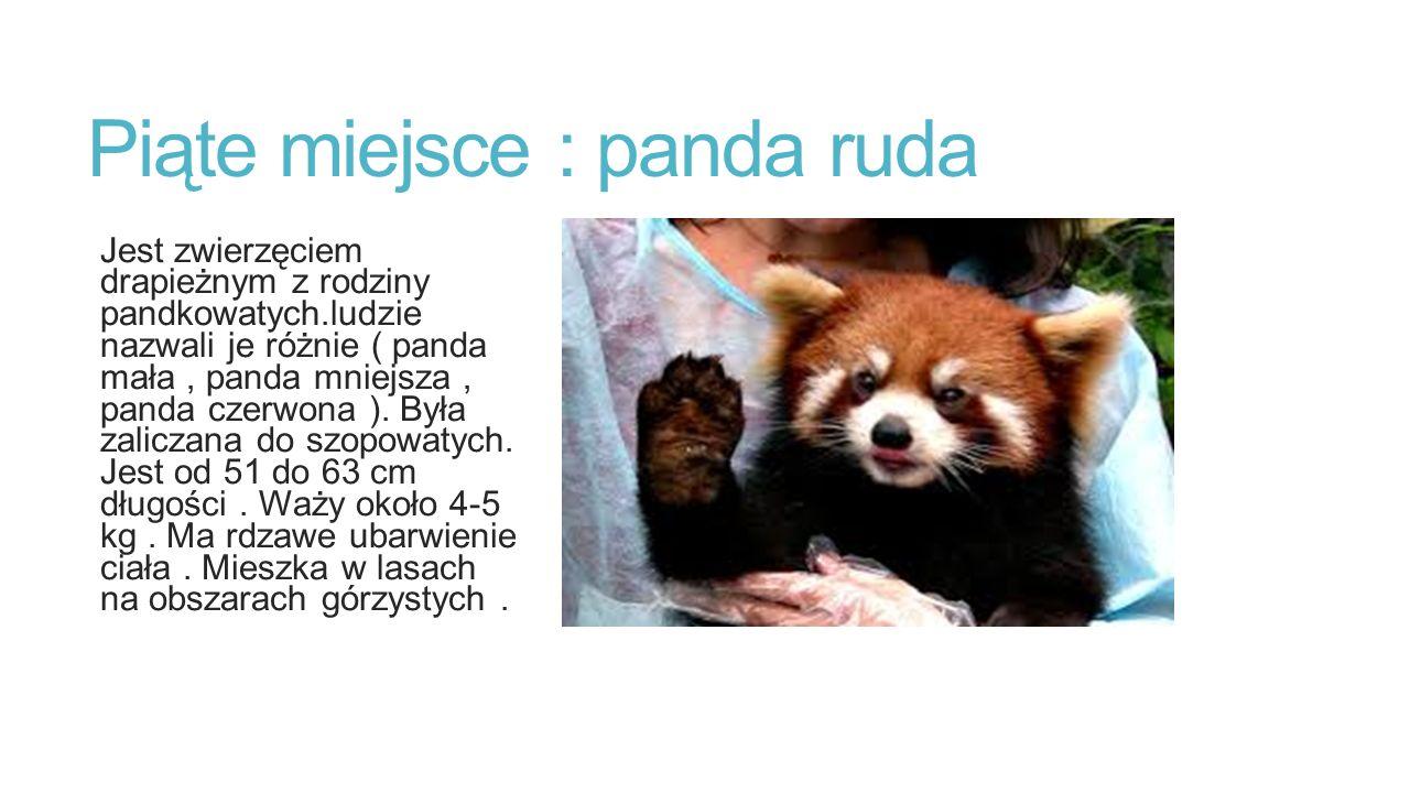 Piąte miejsce : panda ruda Jest zwierzęciem drapieżnym z rodziny pandkowatych.ludzie nazwali je różnie ( panda mała, panda mniejsza, panda czerwona ).