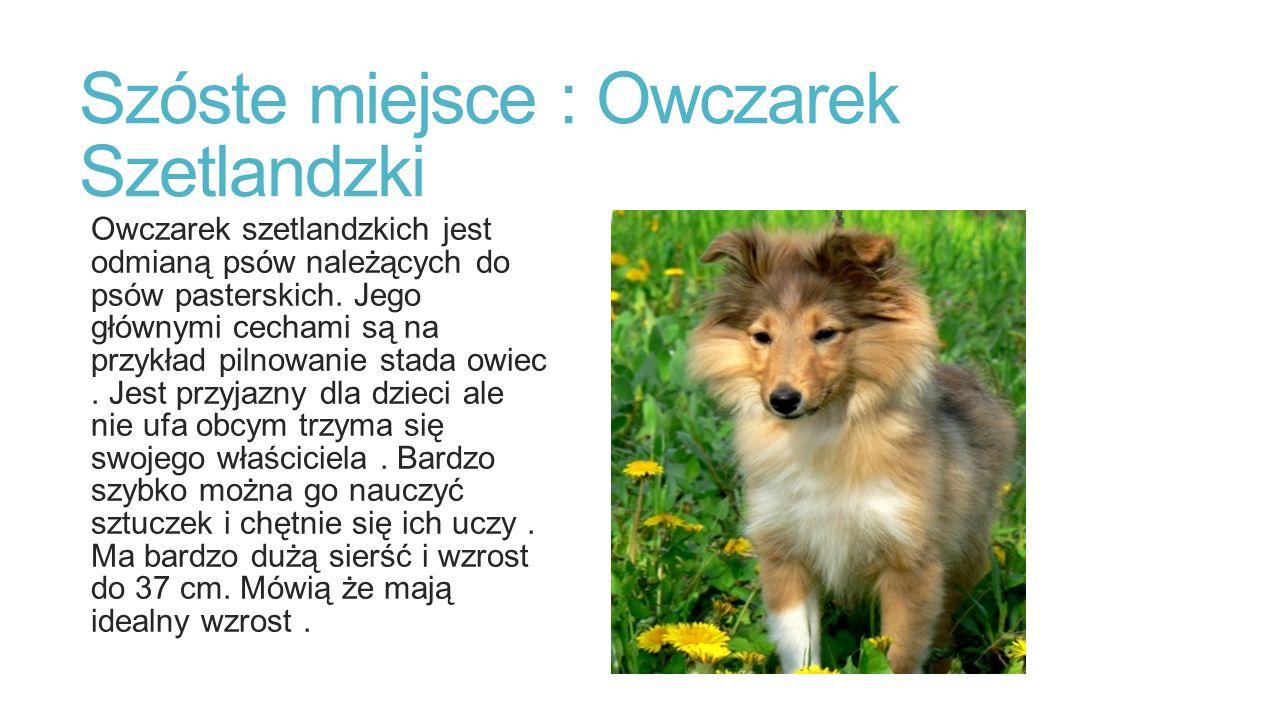 Szóste miejsce : Owczarek Szetlandzki Owczarek szetlandzkich jest odmianą psów należących do psów pasterskich.