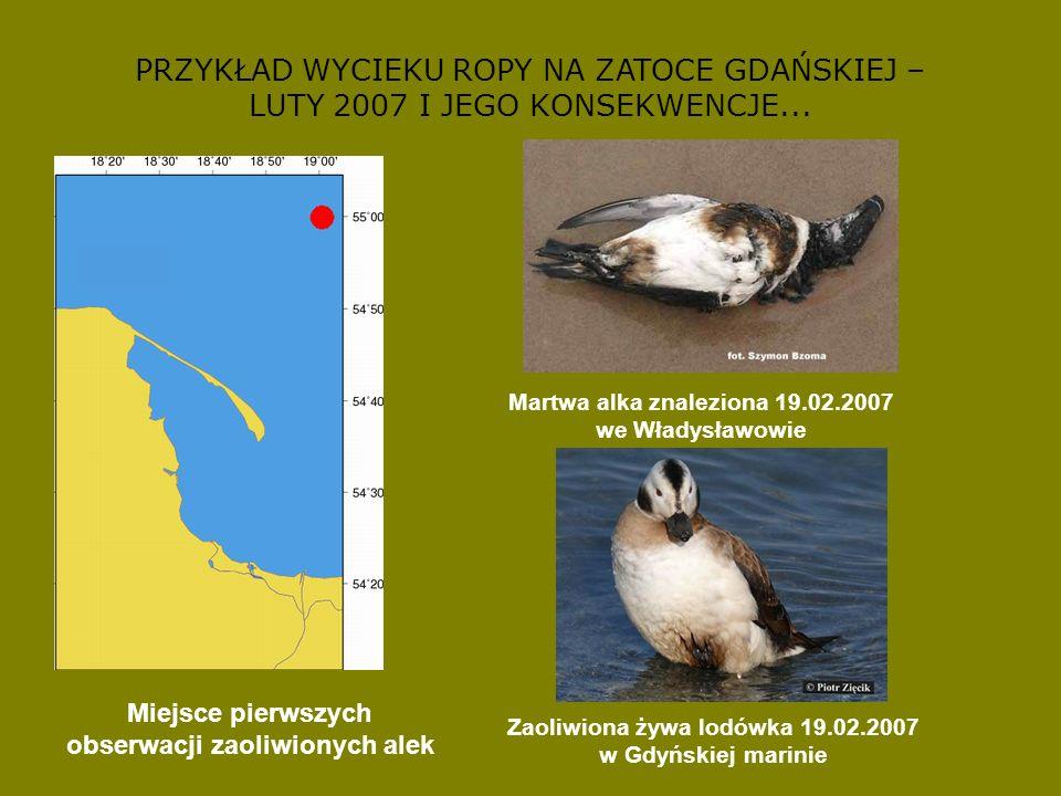 PRZYKŁAD ZAGROŻONEGO GATUNKU – SZLACHAR (Mergus serrator) Liczebność w Polsce: Na początku lat 90.