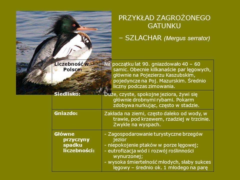 PRZYKŁAD ZAGROŻONEGO GATUNKU – SZLACHAR (Mergus serrator) Liczebność w Polsce: Na początku lat 90. gniazdowało 40 – 60 samic. Obecnie kilkanaście par