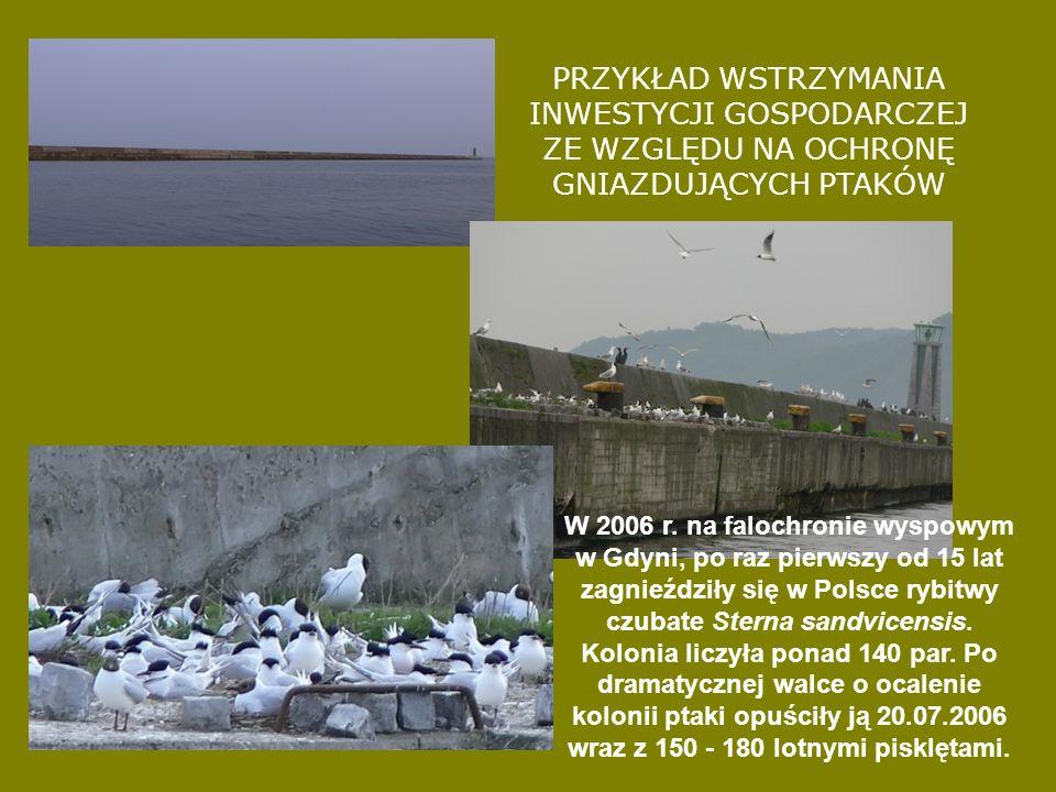 PRZYKŁAD WSTRZYMANIA INWESTYCJI GOSPODARCZEJ ZE WZGLĘDU NA OCHRONĘ GNIAZDUJĄCYCH PTAKÓW W 2006 r. na falochronie wyspowym w Gdyni, po raz pierwszy od