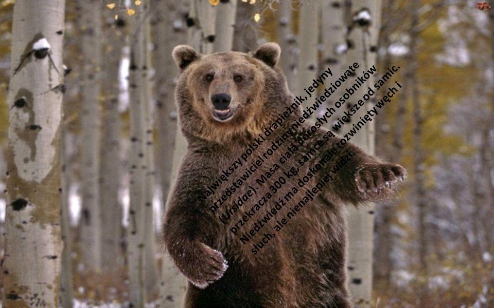 Największy polski drapieżnik, jedyny przedstawiciel rodziny niedźwiedziowate (Ursidae).