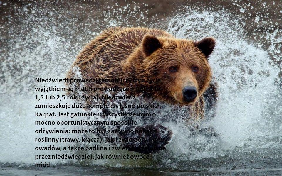 Największy polski drapieżnik, jedyny przedstawiciel rodziny niedźwiedziowate (Ursidae). Masa ciała dorosłych osobników przekracza 300 kg, samce są wię
