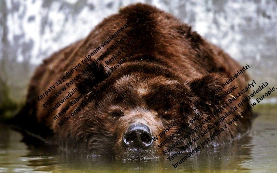 Niedźwiedź prowadzi samotniczy tryb życia, wyjątkiem są matki prowadzące młode (do 1,5 lub 2,5 roku życia). Niedźwiedź zamieszkuje duże kompleksy leśn