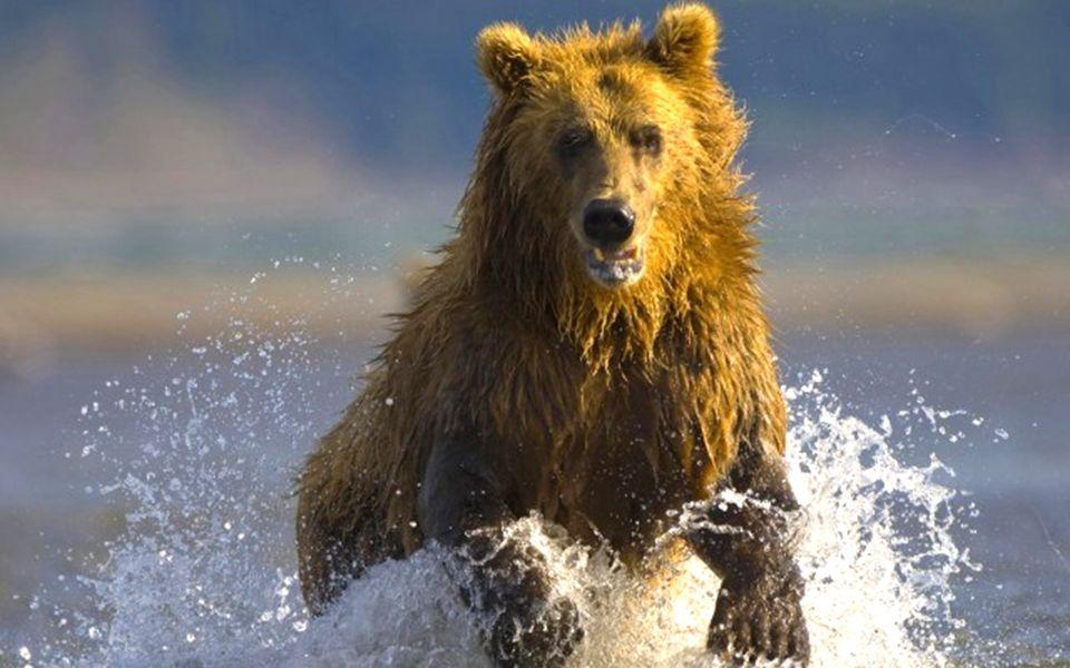 Karpaty są jedynym rejonem występowania gatunku w Polsce. Istnieje pięć stałych ostoi niedźwiedzia brunatnego: Beskid Żywiecki i masyw Babiej Góry, Ta