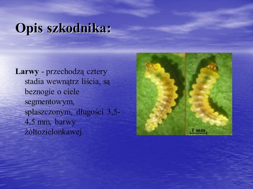 Opis szkodnika: Larwy - przechodzą cztery stadia wewnątrz liścia, są beznogie o ciele segmentowym, spłaszczonym, długości 3,5- 4,5 mm, barwy żółtozielonkawej.