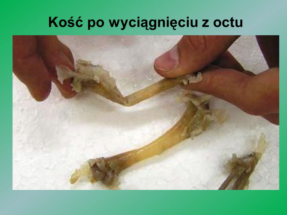 Kość po wyciągnięciu z octu