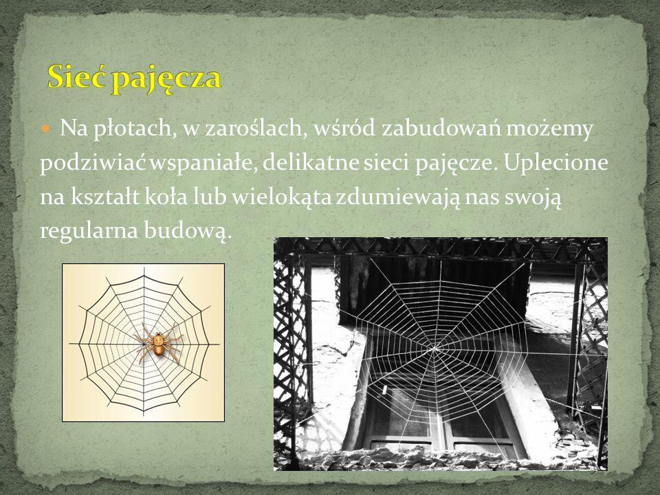 Na płotach, w zaroślach, wśród zabudowań możemy podziwiać wspaniałe, delikatne sieci pajęcze. Uplecione na kształt koła lub wielokąta zdumiewają nas s
