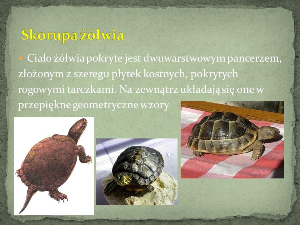Ciało żółwia pokryte jest dwuwarstwowym pancerzem, złożonym z szeregu płytek kostnych, pokrytych rogowymi tarczkami. Na zewnątrz układają się one w pr