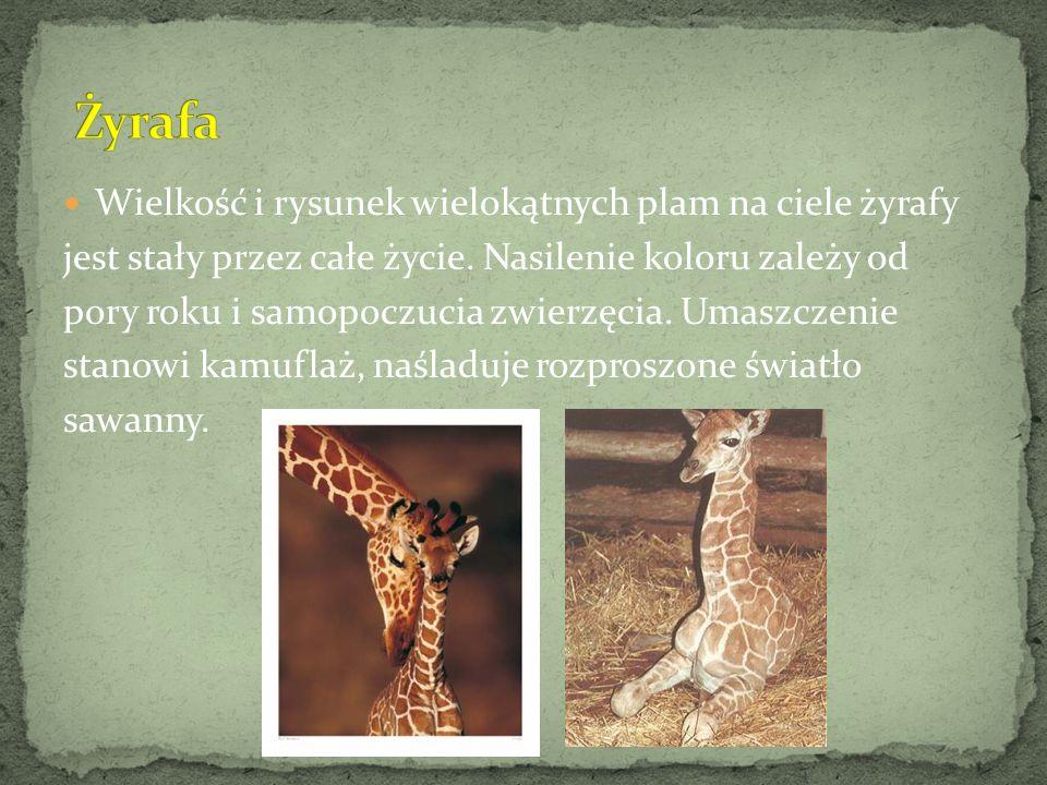 Wielkość i rysunek wielokątnych plam na ciele żyrafy jest stały przez całe życie. Nasilenie koloru zależy od pory roku i samopoczucia zwierzęcia. Umas