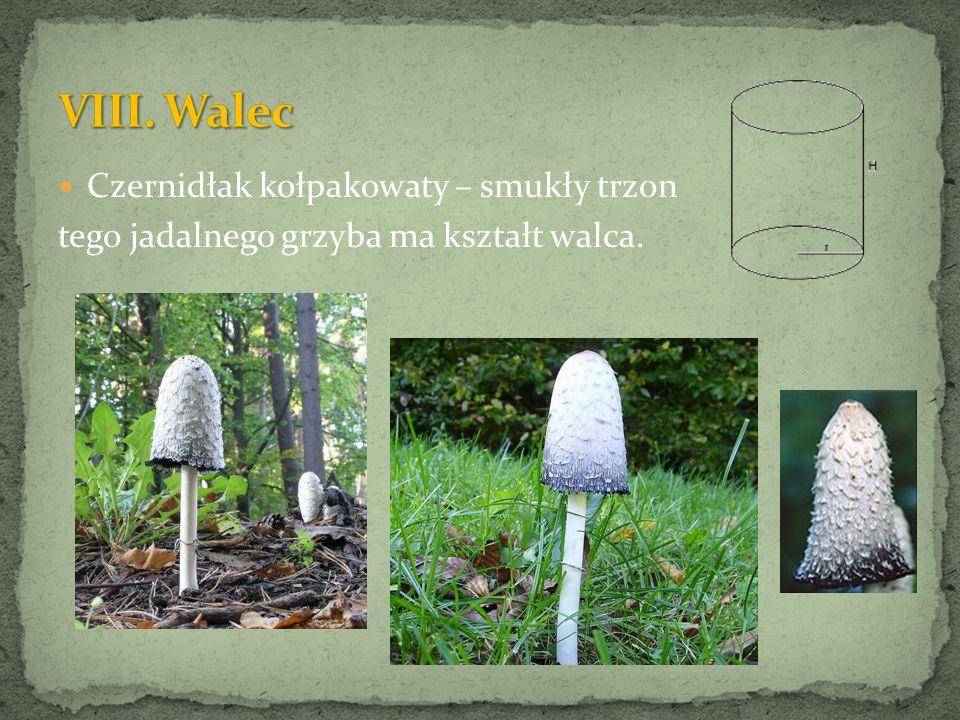 Czernidłak kołpakowaty – smukły trzon tego jadalnego grzyba ma kształt walca.