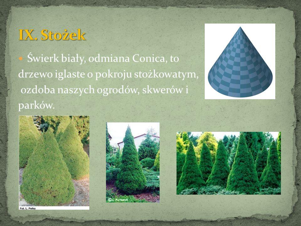 Świerk biały, odmiana Conica, to drzewo iglaste o pokroju stożkowatym, ozdoba naszych ogrodów, skwerów i parków.