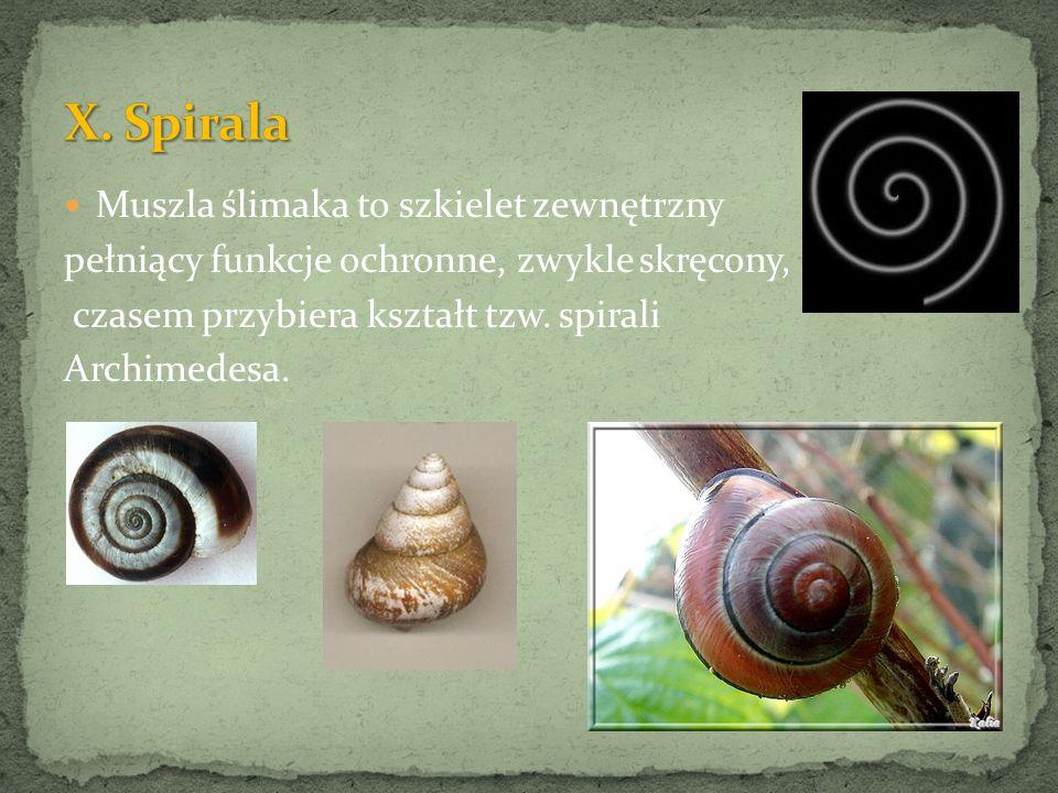 Muszla ślimaka to szkielet zewnętrzny pełniący funkcje ochronne, zwykle skręcony, czasem przybiera kształt tzw. spirali Archimedesa.