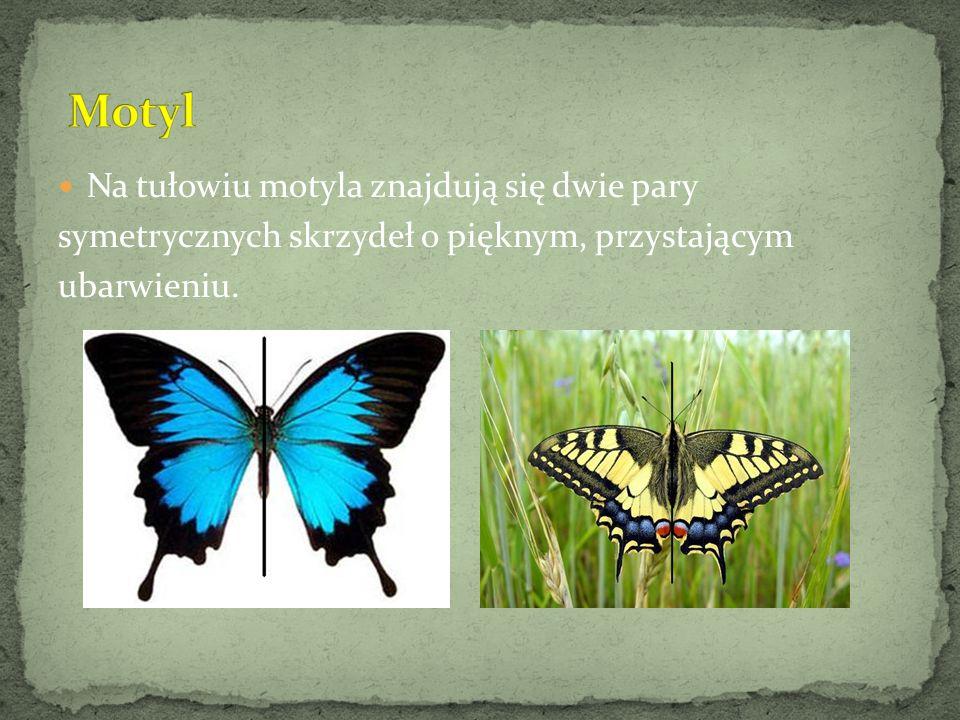 Na tułowiu motyla znajdują się dwie pary symetrycznych skrzydeł o pięknym, przystającym ubarwieniu.