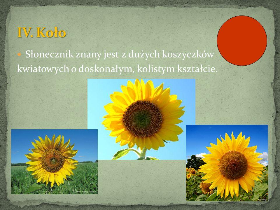 Słonecznik znany jest z dużych koszyczków kwiatowych o doskonałym, kolistym kształcie.