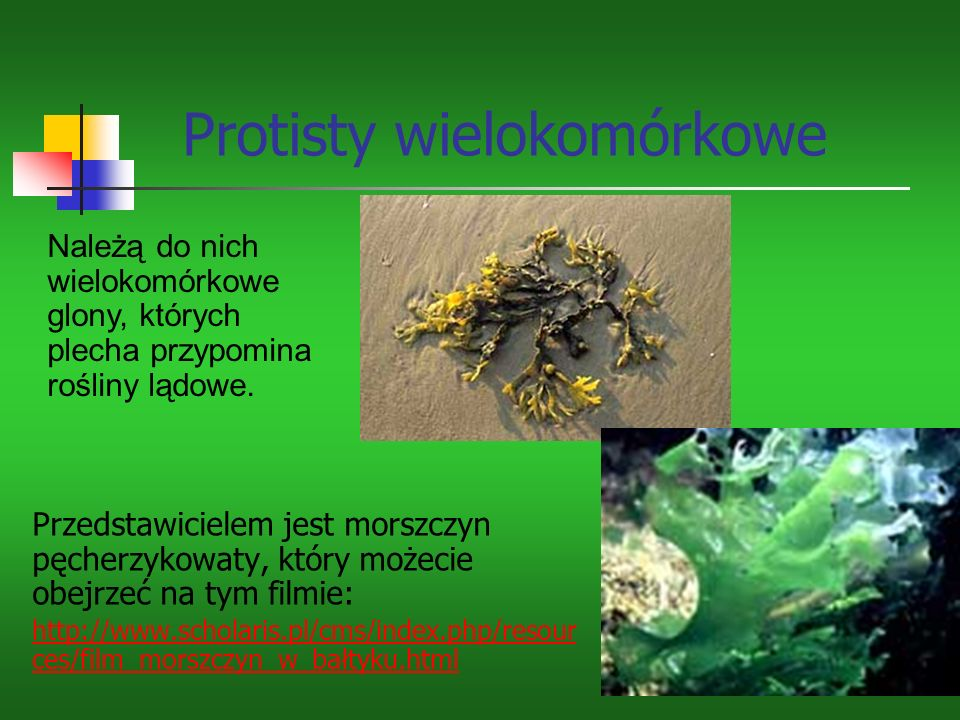 Protisty wielokomórkowe Przedstawicielem jest morszczyn pęcherzykowaty, który możecie obejrzeć na tym filmie: http://www.scholaris.pl/cms/index.php/resour ces/film_morszczyn_w_bałtyku.html Należą do nich wielokomórkowe glony, których plecha przypomina rośliny lądowe.
