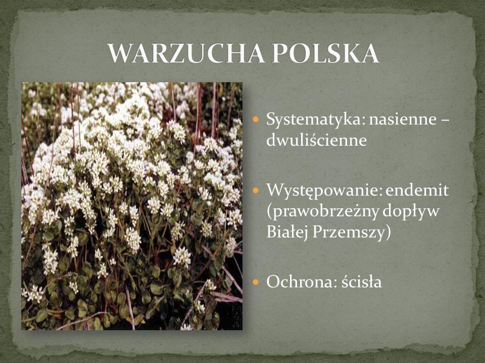 Systematyka: nasienne – dwuliścienne Występowanie: endemit (prawobrzeżny dopływ Białej Przemszy) Ochrona: ścisła