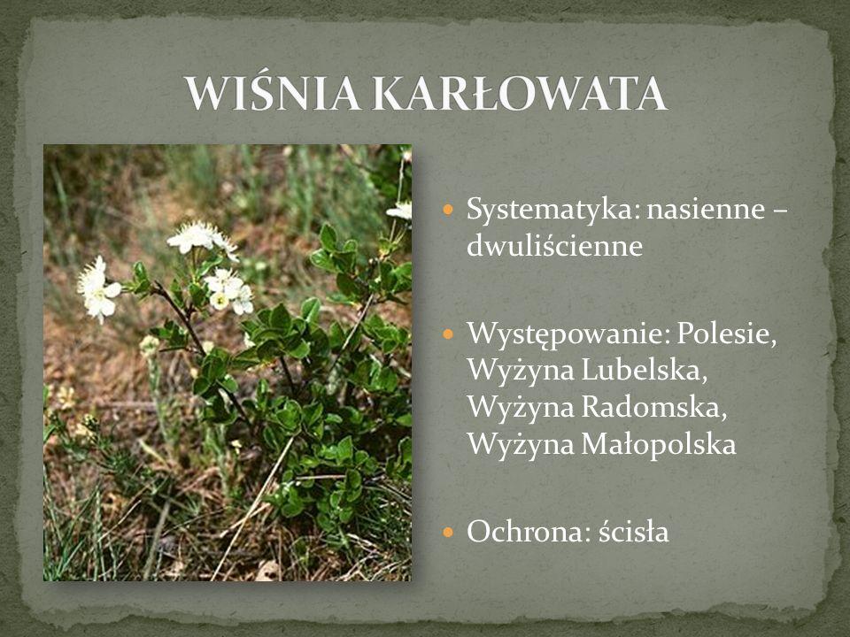 Systematyka: nasienne – dwuliścienne Występowanie: Polesie, Wyżyna Lubelska, Wyżyna Radomska, Wyżyna Małopolska Ochrona: ścisła