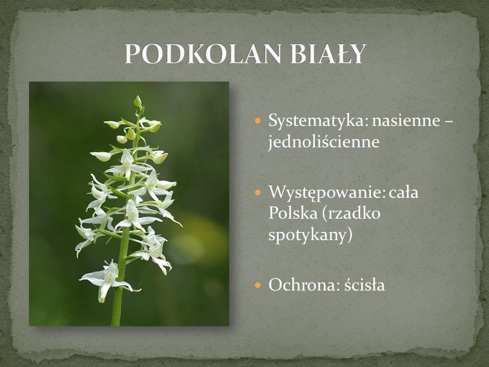 Systematyka: nasienne – jednoliścienne Występowanie: cała Polska (rzadko spotykany) Ochrona: ścisła