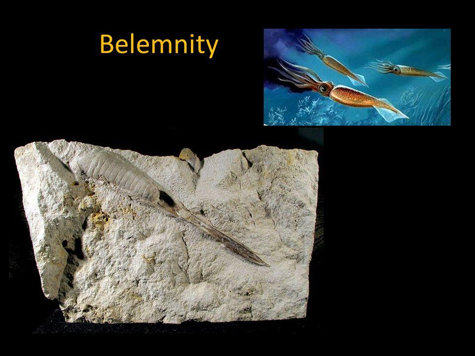 Belemnity