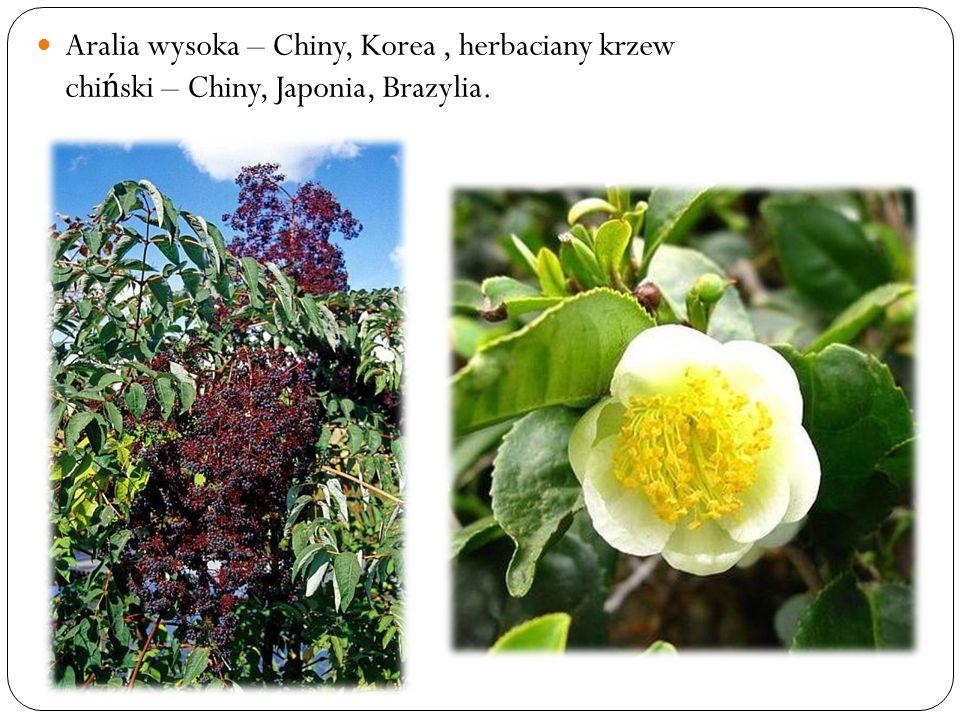 Aralia wysoka – Chiny, Korea, herbaciany krzew chi ń ski – Chiny, Japonia, Brazylia.
