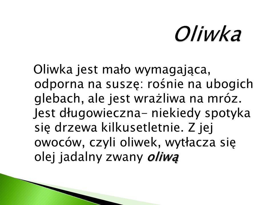 oliwą Oliwka jest mało wymagająca, odporna na suszę: rośnie na ubogich glebach, ale jest wrażliwa na mróz.
