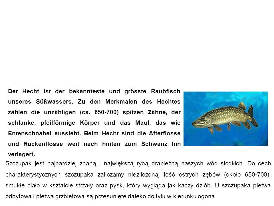Hecht szczupak Szczupak jest najbardziej znaną i największą rybą drapieżną naszych wód słodkich.