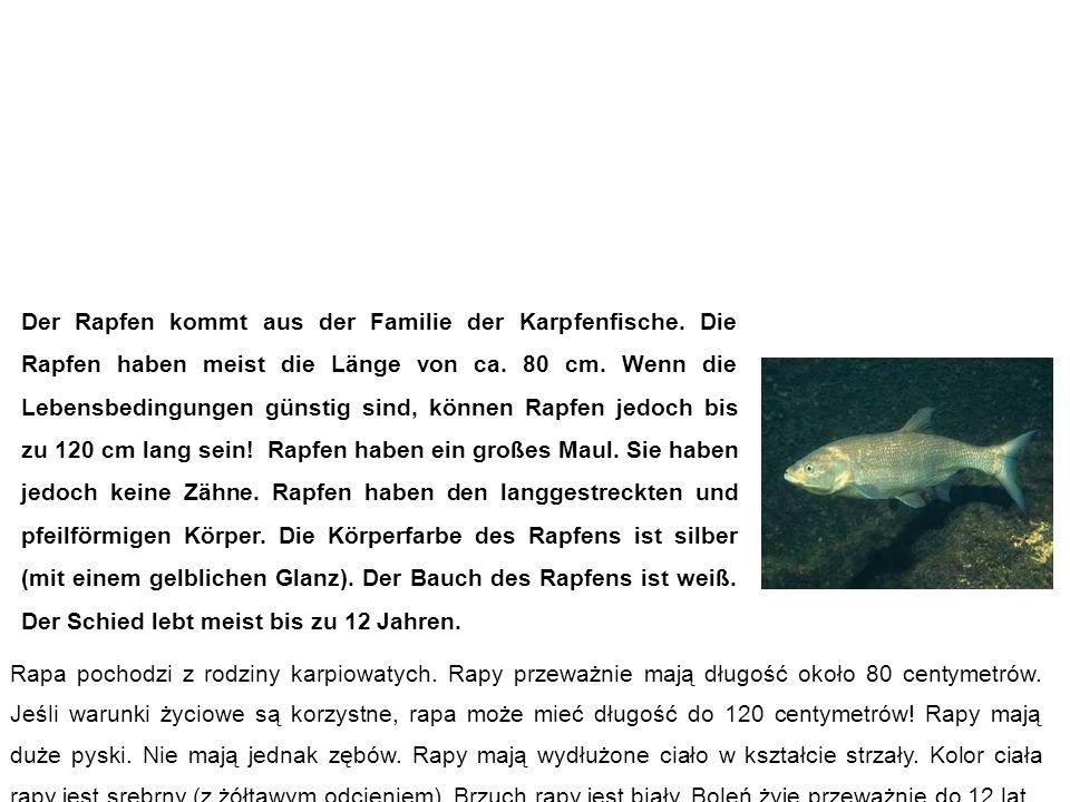 Rapfen (Schied) rapa (boleń) Der Rapfen kommt aus der Familie der Karpfenfische.