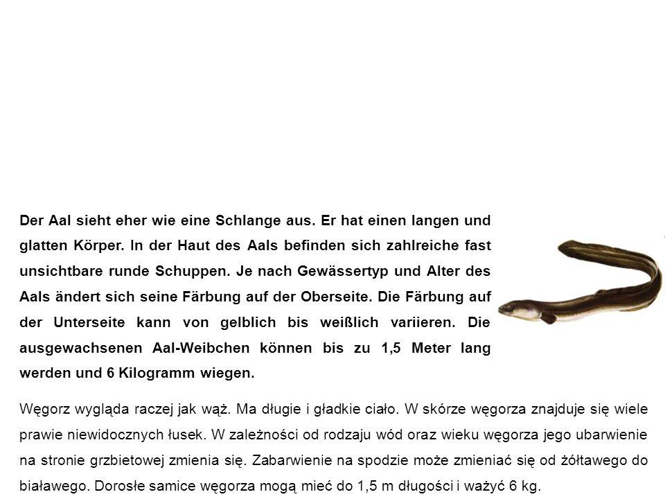 Aal węgorz Węgorz wygląda raczej jak wąż. Ma długie i gładkie ciało.